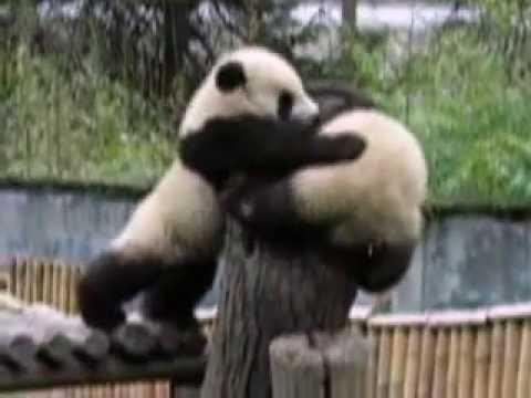 Panda Fight - YouTube