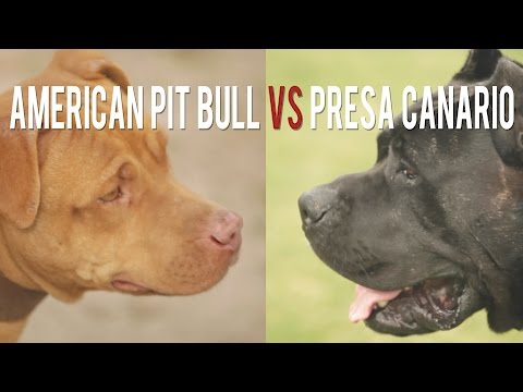 AMERICAN PIT BULL TERRIER vs. PRESA CANARIO: SIMILAR BUT DIFFERENT