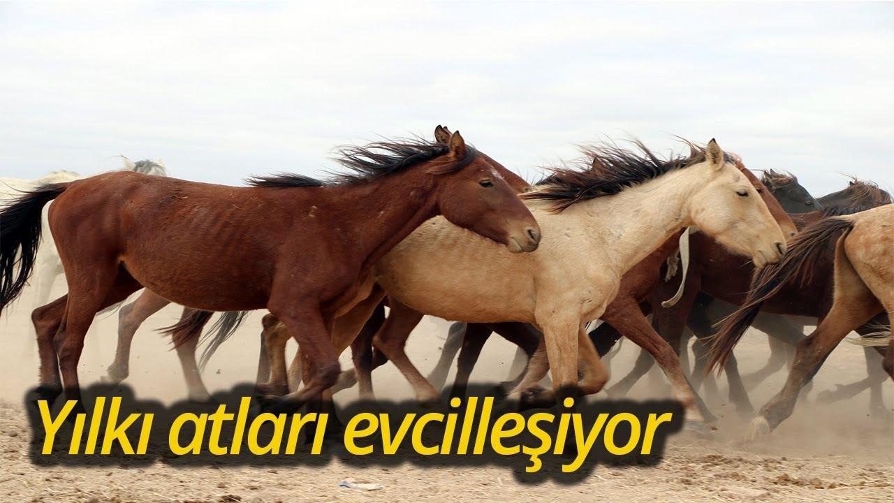 Yılkı Atları Kırgızların Elinde Evcilleşiyor Youtube