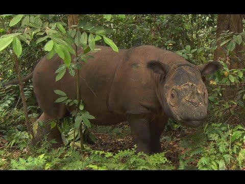 Sumatran Rhino, Sumatra-Nashorn, Way Kambas