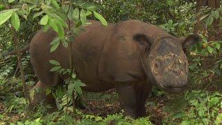 Sumatran Rhino SumatraNashorn Badak Sumatera Dicerorhinus sumatrensis
