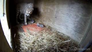 Milani Gives Birth to 5 Cheetah Cubs
