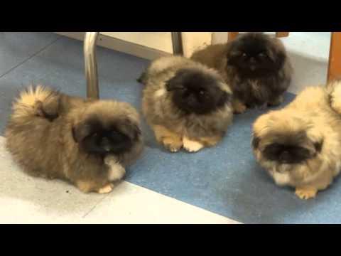 Pekingese puppies in Kennel Kaimon Gerheil