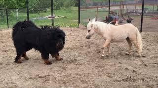 Игры наших животных. Тибетский мастиф Суслик и Американский миниатюрный жеребец Ванилька.