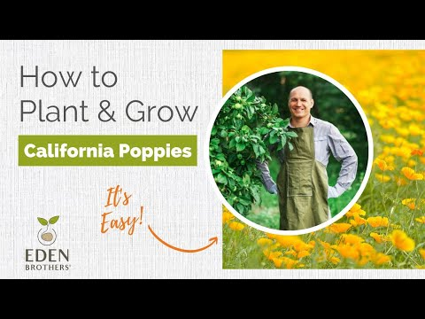 Tips for Growing California Poppy Seeds