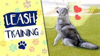 Leash Training Your New Alaskan Klee Kai Puppy