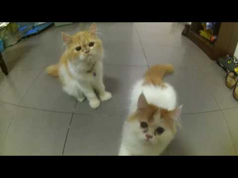 play with yellow white cute parsy cat