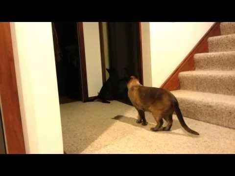 Cat Tricks - Small burmese cat opening door for big burmese cat