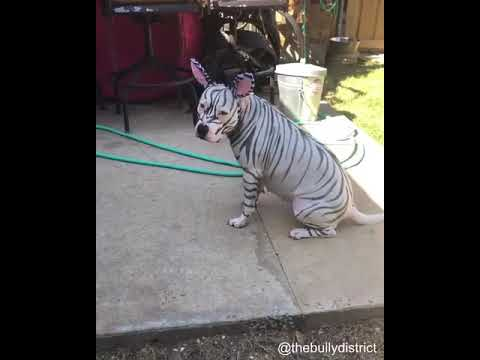 White Dog Gets Painted With Black Stripes To Be Zebra For Halloween - 1077122-1