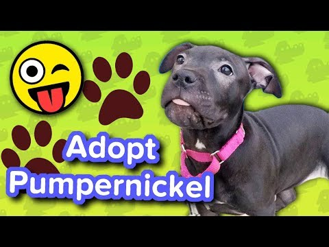 Adopt Pumpernickel // Pitbull Puppy // Adoptable Featurette