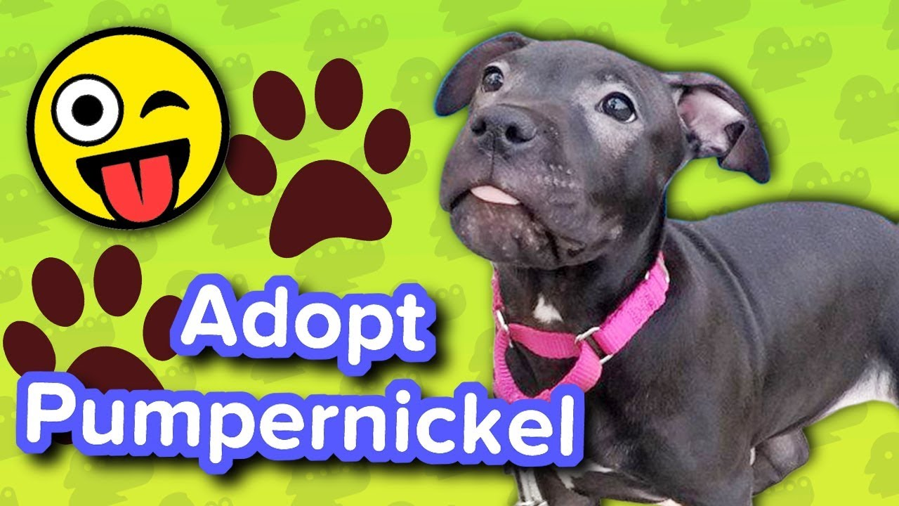 Adopt Pumpernickel Pitbull Puppy Adoptable Featurette Youtube