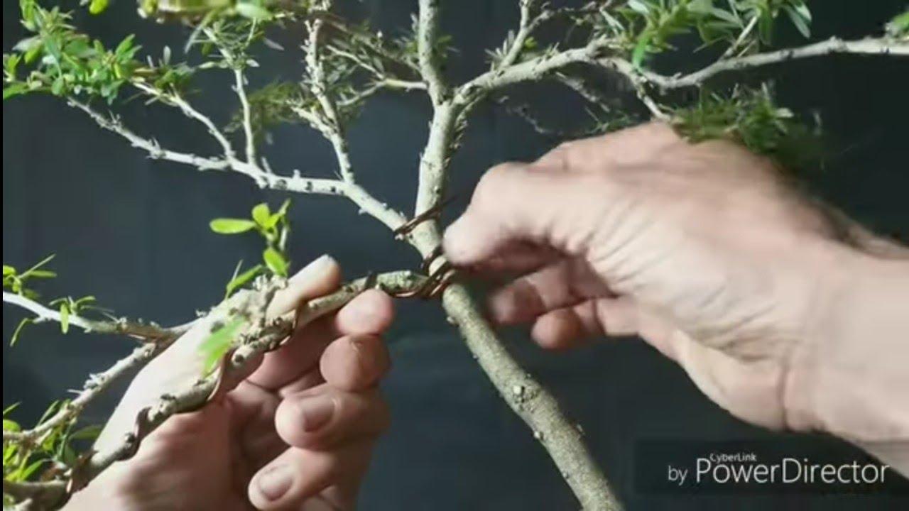 Chia sẻ kinh nghiệm uốn cây không bị gẫy.