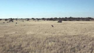West Zambian Sable Offload.mp4