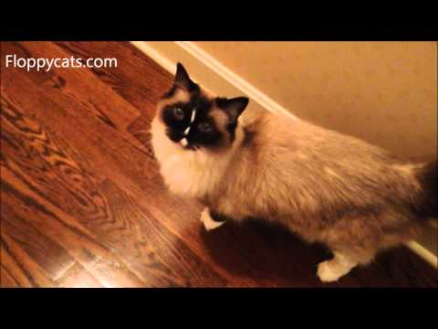 Ragdoll Cat Murphy Meows Back at Obnoxious Human - ねこ - ラグドール - Floppycats