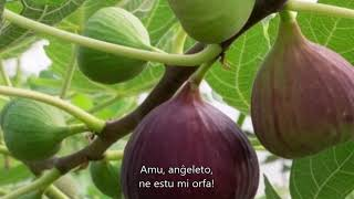Sárgul már a fügefa levele - Esperanto - subteksto