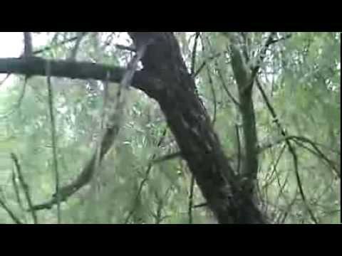 Black willow identification video : Salix Nigra