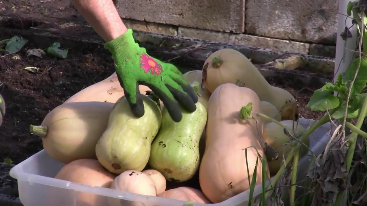 How to Harvest Butternut Squash - YouTube