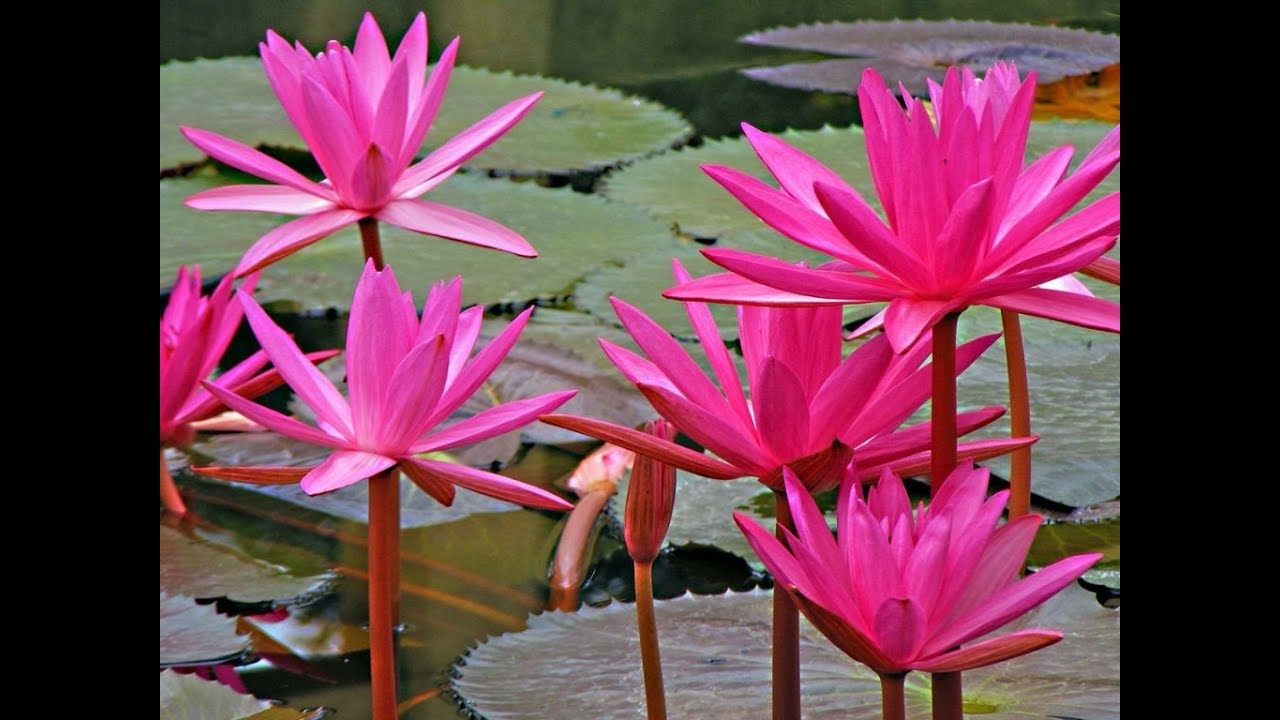 Beautiful Gorgeous And Pretty Water Lily Flowers Nymphaeaceae