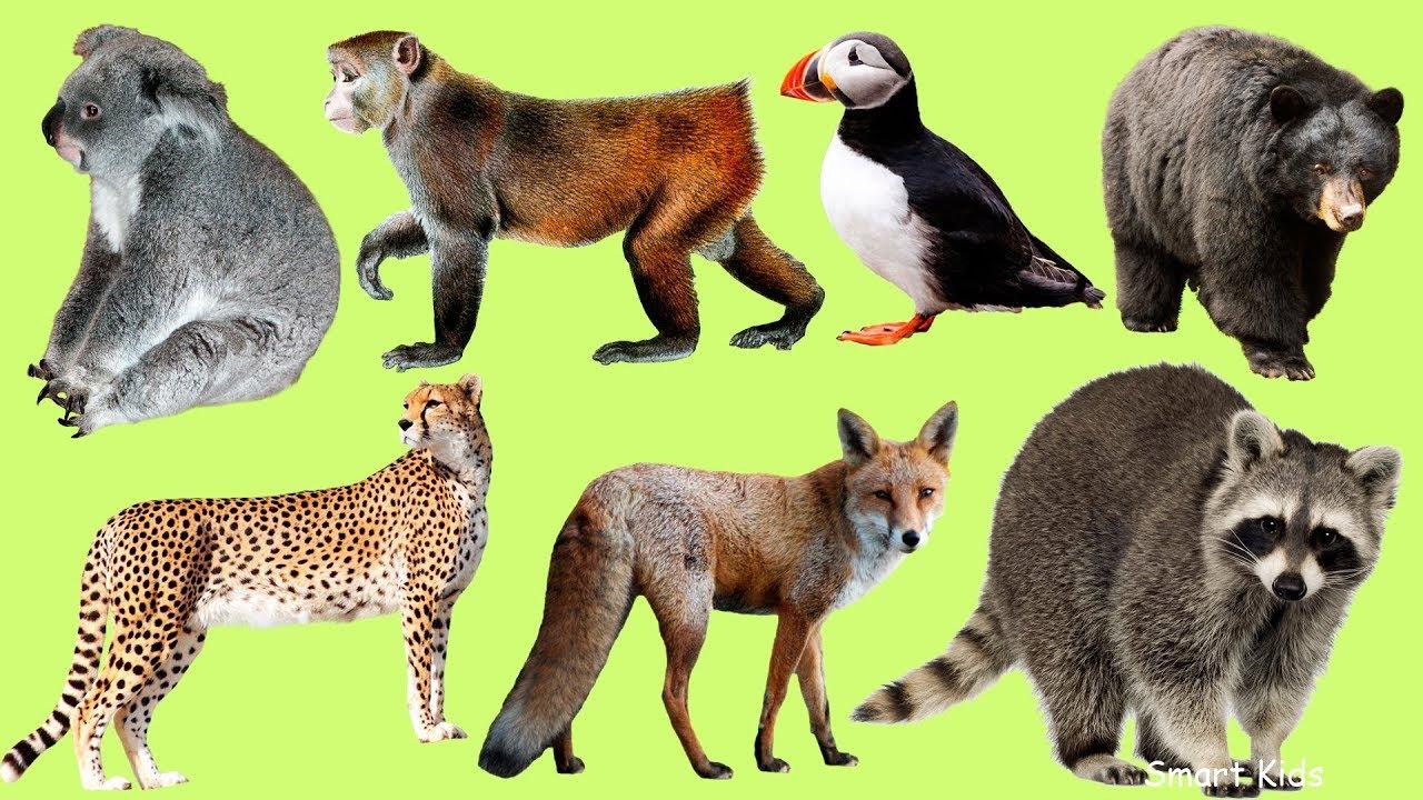 Голоса диких животных с картинками