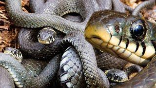 Клубок змей: мистика или реальность? | Film Studio Aves