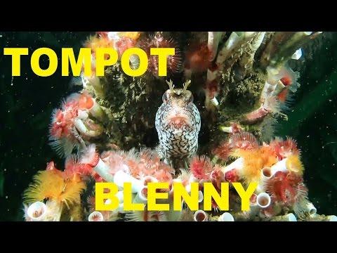 TOMPOT BLENNY. Scuba diving Ireland.