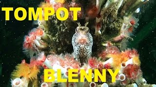 TOMPOT BLENNY. Scuba diving Ireland.
