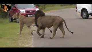 Lion Shows Tourists Why You Must Stay Inside Your Car - Wild Animals TV
