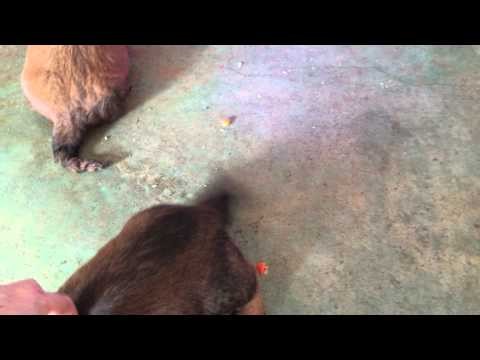 Long Hair Red Dachshund Puppies For Sale