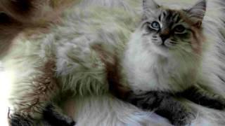 Порода кошек .Сококе.Сококе-то прекрасное домашнее животное, напоминающее гепарда в миниатюре.