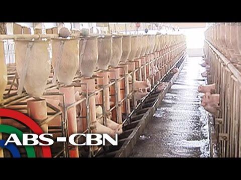 Bandila: El Nino hits poultry, piggery farms