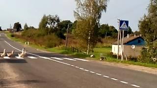 Приколы гуси переходят дорогу по пешеходному переходу