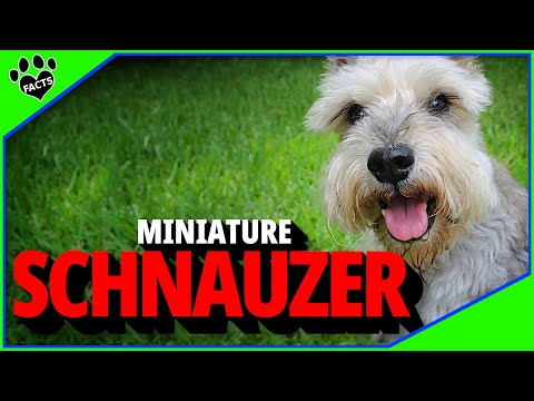 Miniature Schnauzer Dogs 101 Most Popular Dog Breeds - Animal Facts