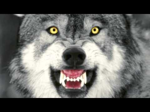 In Фитиль Fitil Rotation - Nobody likes Big Bad Wolf