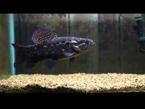 Black Wolf Fish Eating F/T Mouse