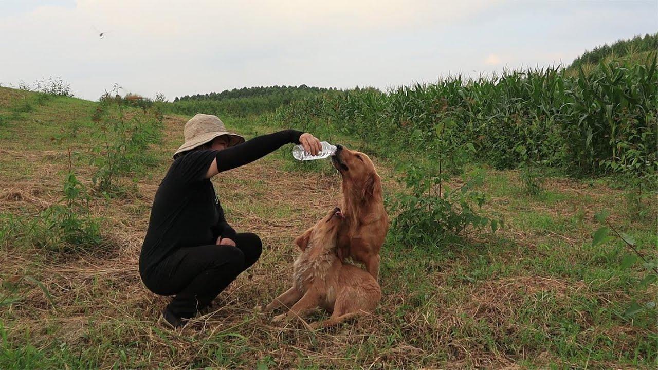 农村大姐家的两只金毛陪着她去地里干活,再重的活也不觉得累。