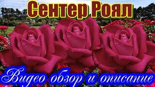 Видео обзор розы Сентер Роял (Чайно гибридная) - Senteur Royale (Evers Германия, 2004)
