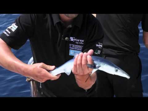 Baby blue shark - YouTube