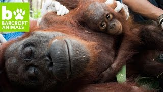 Orangutan Rescue: Saved From Starvation