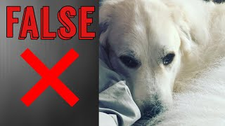 Busting 5 myths about the Great Pyrenees