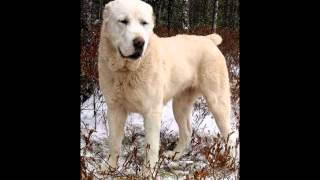 Самая мощная и сильная бойцовская порода собак Алабай