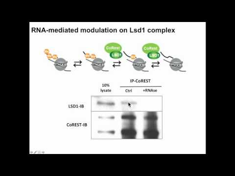 MC Lee: Progenitor expansion and competence are controlled by Lsd1, PRC2 and non-coding RNAs.