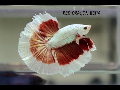 Fighter fish types - photo#11