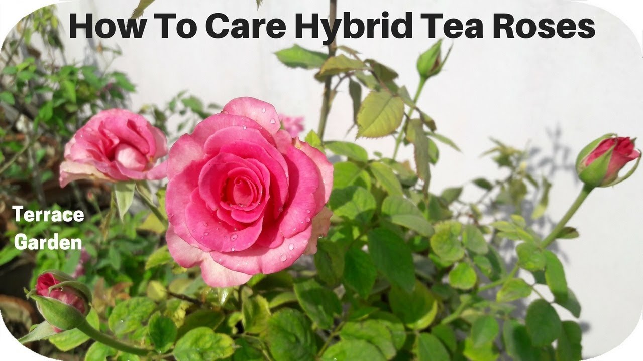 how to take care of hybrid tea roses