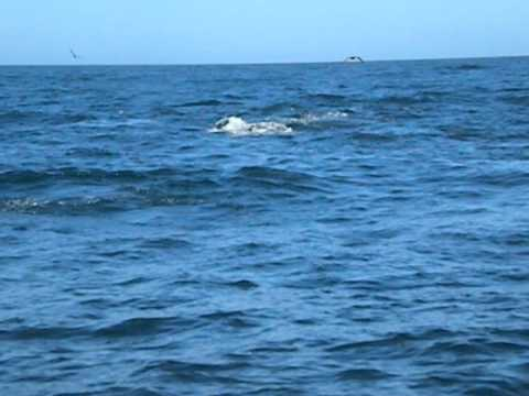 SeaTurtles.org Humpback Whales Offshore of Half Moon Bay, September 9, 2012