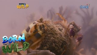 Born to Be Wild: The 'power punch' of Mantis shrimps