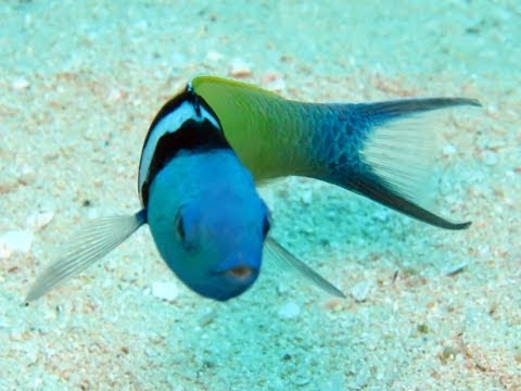 Lionfish Benefit; Reducing Wrasse Numbers
