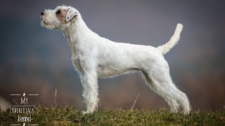Large & medium sized Terrier Dog breeds | DIVISION 3| Segment 1