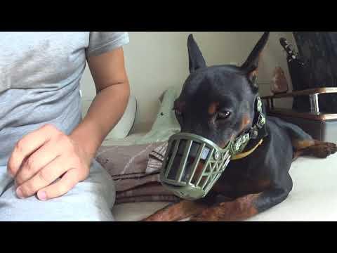 Вопрос: В чём особенности собак породы карликовый пинчер, уход и дрессировка?