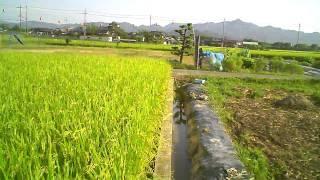 Rice Farm in Kaibara, Japan
