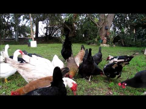 Harlem Shake Freedom Chickens